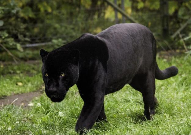 gatto nero troppo grosso